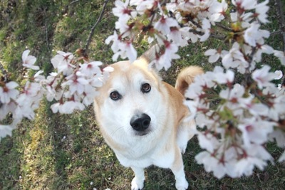 桜を見つめる犬