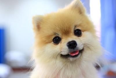可愛い笑顔のポメラニアン