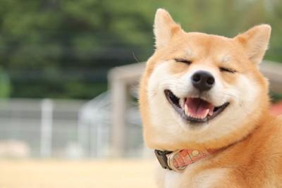 目を閉じて笑う柴犬の顔のアップ