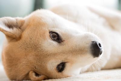 寝転んで見つめる柴犬の顔アップ