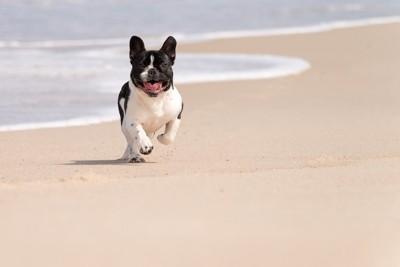 海辺を走るフレンチブルドッグ