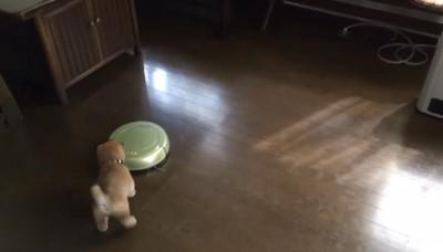 子犬がお掃除ロボットに近づいてる