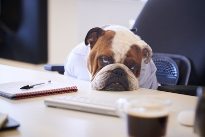デスクに座ってグッタリする犬