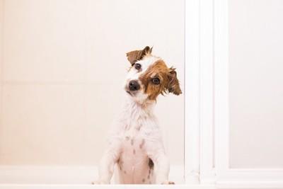 お風呂上がりに首をかしげる犬