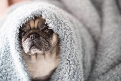 毛布にくるまるパグ