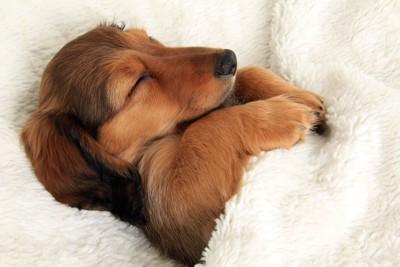 ベッドで眠るダックスフンド