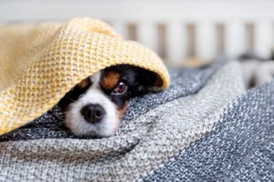 布を被り身を隠している犬