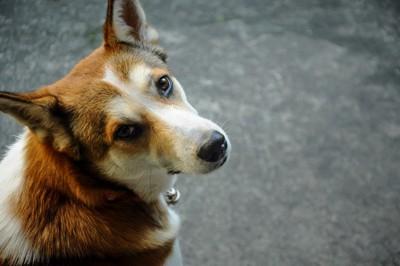 振り返って見上げる犬