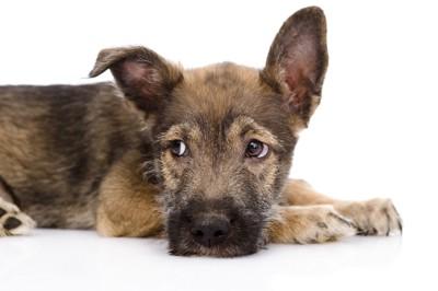 尿石症で元気のない犬