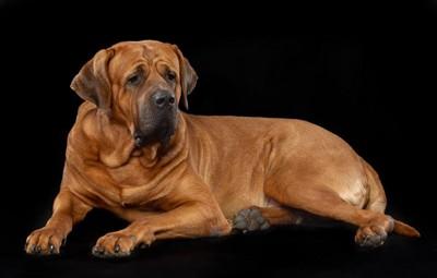 座る土佐犬の写真