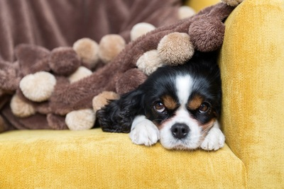ソファーで眠る犬
