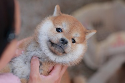 飼い主に捕まえられている柴の子犬