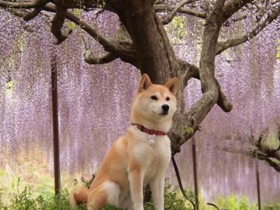 藤の花と柴犬