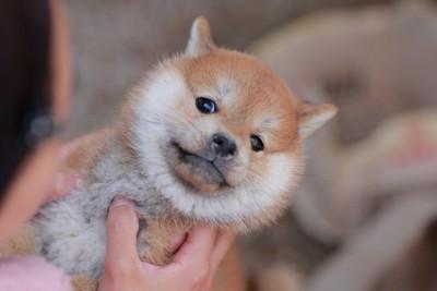 抱っこを嫌がる柴犬の子犬
