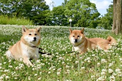 シロツメクサと二頭の柴犬
