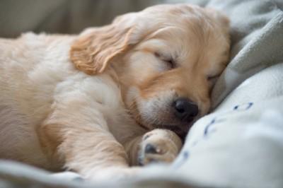 寝ているレトリバーの子犬