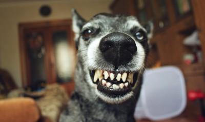 威嚇する犬の顔アップ