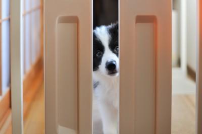 ゲートの隙間から覗き込む犬