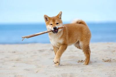 砂浜で枝をくわえて遊ぶ柴犬