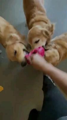 オモチャ咥える三匹の犬