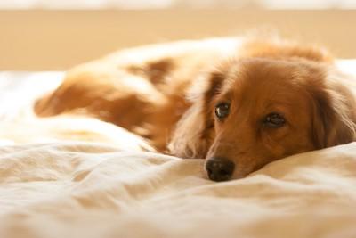 悲しげにベッドで休むダックスフンド