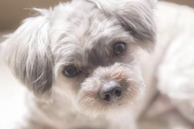 まっすぐな瞳で見つめる犬