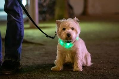 首元が緑色に光っている犬