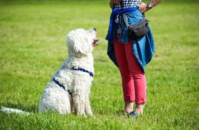 座る白い犬と腰に手を当てる人