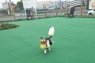 ドッグランで元気に走る愛犬ココア