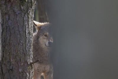 木陰から覗くオオカミ