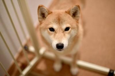柵のある場所で見送る柴犬