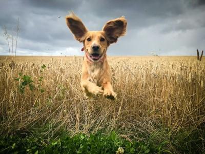 飛ぶように走る耳の大きな犬