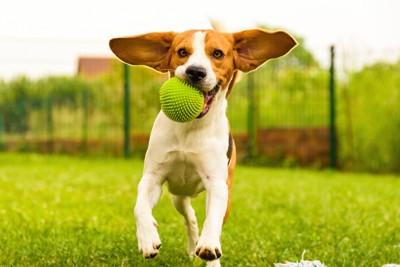 ボールを追いかけて遊ぶ犬