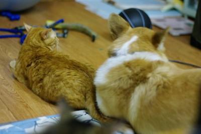 コーギーのジンちゃんと猫のハスク