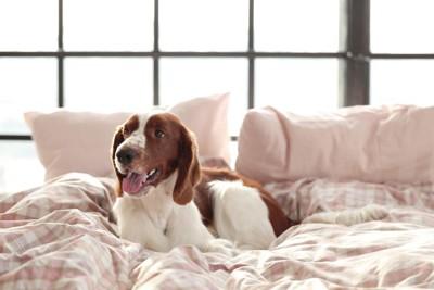 ベッドの上、白茶の垂れ耳の犬