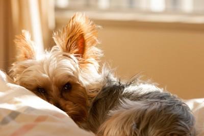 ベッドの上で丸くなって眠そうな犬
