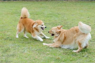 芝生の上で遊びに誘う犬たち