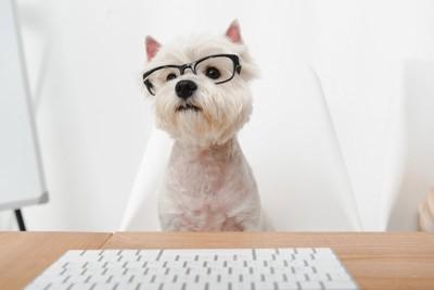 黒ぶちメガネをかけた白い犬