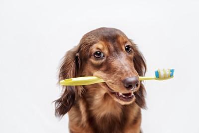 黄色い歯ブラシをくわえたダックスフンド