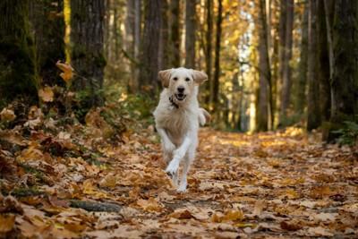 こちらに向かって走っている犬