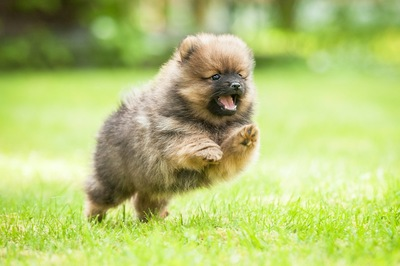 芝生を駆けるポメラニアンの子犬