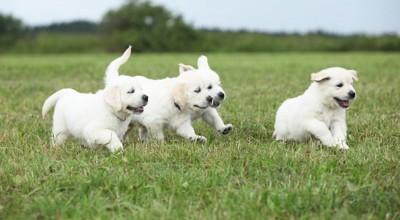 芝生を走る四頭の子犬