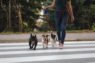 散歩中に横断歩道を渡る三頭の小型犬