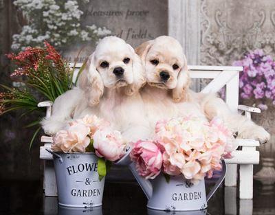お花とベンチの上でくつろぐアメリカンコッカースパニエルの幼犬