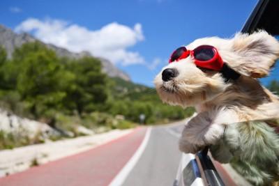 車の窓から顔を出すサングラスをした犬