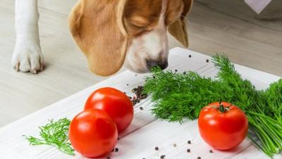 野菜のニオイを嗅ぐビーグル犬