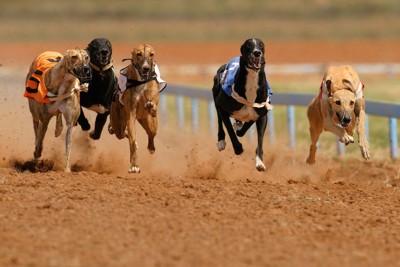 競技に参加して走る犬たち