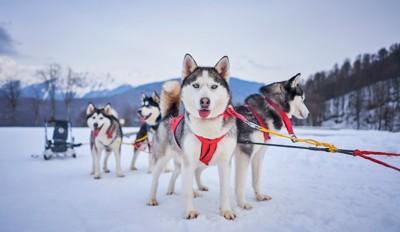 雪の上に立つハスキー犬たち