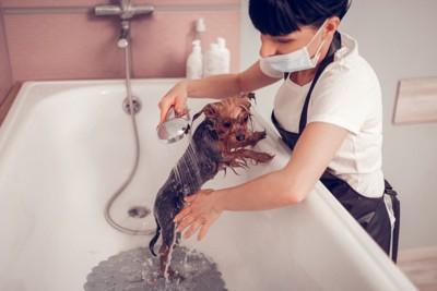 バスタブでシャワーをされる小型犬