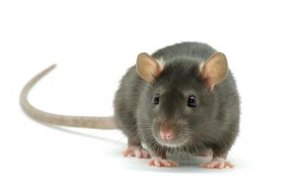 エキノコックスと関連性が深いネズミ